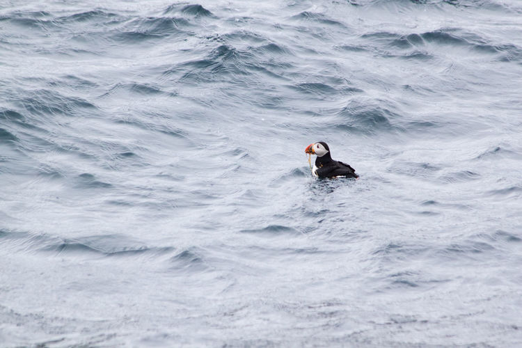 Newfoundland Puffin Animal Animal Themes Animals In The Wild Beauty In Nature Bird Day Floating On Water Motion Nature No People One Animal Outdoors Sea Swimming Water Wave