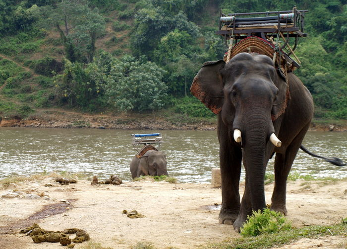 Animal Themes Day Domestic Animals Elephant Horizontal Mammal Nature No People One Animal Outdoors Togetherness Tree Water Working Animal