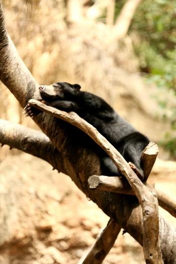 Bear Bears In Trees Sandiegozoo Photoofday Photooftheweek San Diego Photography Canonphotography Wildlife & Nature Wildlife Photography Wildlife Eye4photography  Animal Photography Bears Relaxing Sleeping Sleeping Bear Canon
