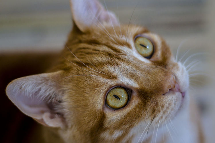 Animal Animal Eye Animal Head  Cat Cat Lovers Cats Cat♡ Close-up Cute Domestic Animals Domestic Cat Eye Eye4photography  Feline Focus Focus On Foreground Hunting Mammal Pets Portrait Red Redhead Selective Focus Staring Whisker