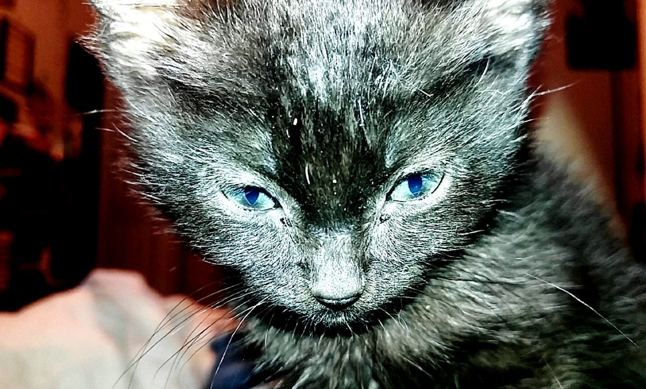 one animal, animal themes, looking at camera, mammal, close-up, portrait, pets, domestic animals, domestic cat, whisker, feline, no people, day, indoors