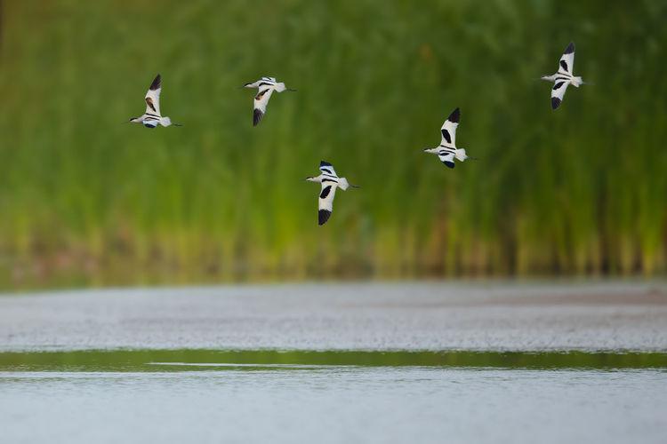 湖边遇到反嘴鹬 Flying