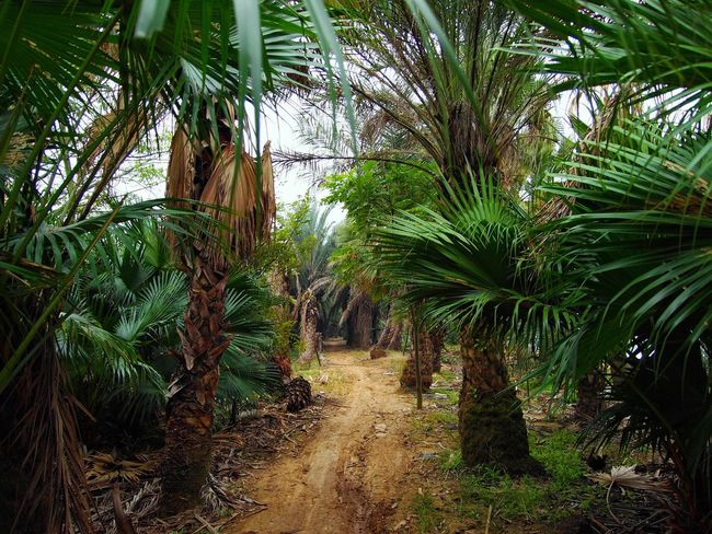 Palm Tree Growth Tree Agriculture Nature No People Beauty In Nature Plant Outdoors Day