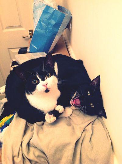 Kittens Tuxedo Cat