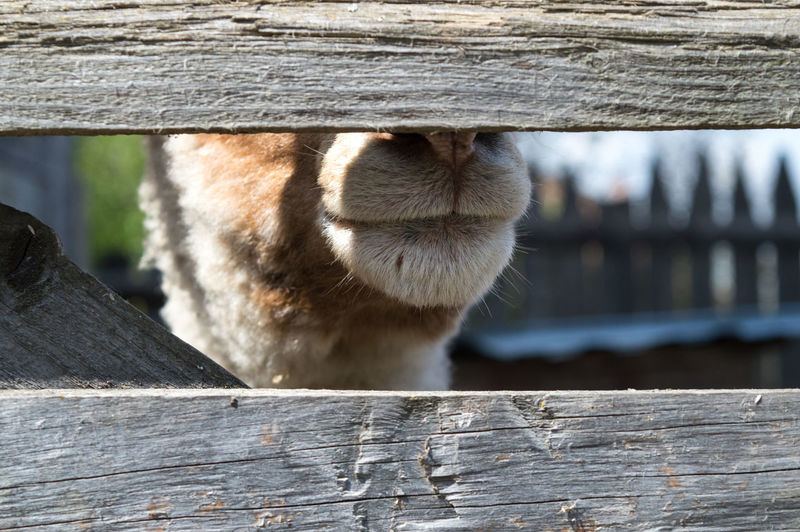 Lamb Animal Animal Body Part Animal Head  Animal Themes Animal Wildlife Animals In The Wild Barrier Boundary Close-up Day Domestic Animals Fence Focus On Foreground Herbivorous Mammal Nature No People One Animal Outdoors Pets Vertebrate Wood - Material