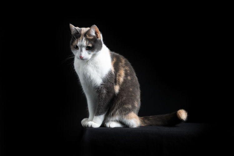 European Shorthair cat, multi-coloured, sitting in black background Mammal Domestic Cat Pets Domestic Cat Domestic Animals One Animal Feline Black Background Sitting Studio Shot No People Indoors  Vertebrate Portrait Full Length Looking At Camera Whisker Animal Eye European Shorthair Multi Colored