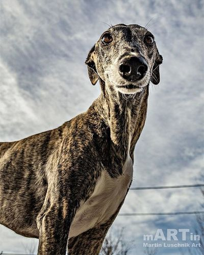 How cute is our kido? Galgoespañol Galgos Galgo Dogs Doggy Dogsofinstagram Cute Happydogs Happy Clouds Instalike