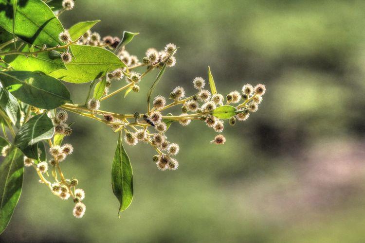 Combretaceae Conocarpus Erectus Portland Cottage, Jamaica Botany Buttonwood Flower Flower Of The Button Mangrove Mangrove