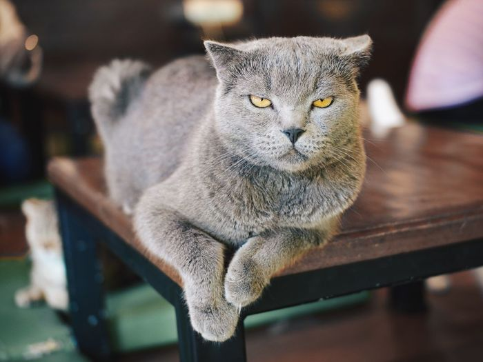 Close-Up Portrait Of Cat Sitting On Table