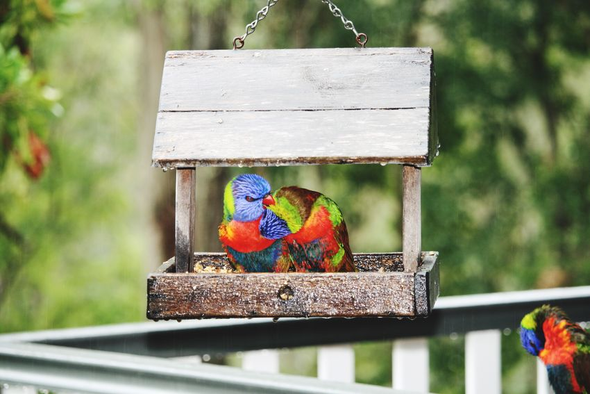 Rainbow Lorikeet Bird Canon Canon 400d Canonphotography Rainy Days Bird Photography Lorikeet Rainbow Rain Nature The Great Outdoors - 2016 EyeEm Awards A rainy day saw all the local birds dropping by to sit on the deck Birds Of EyeEm  Brisbane Brisbane Australia