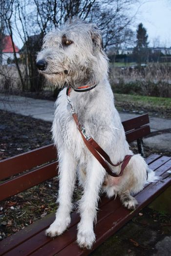 Benches_Of_The_World_Unite Pets One Animal Dog Domestic Animals Outdoors Dogwalk Dogslife Dogs Of Winter How's The Weather Today? Dogs Of EyeEm Cearnaigh Irish Wolfhound Portrait Winter 2017 Close-up February 2017