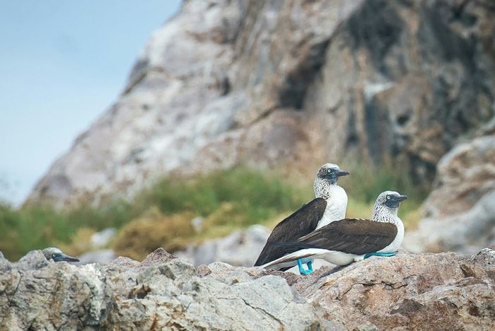 Blue-Footed Boobies Islas Marietas Puerto Vallarta Bird Photography Animals In The Wild Mexico EyeEm Nature Lover Check This Out Travel Photography Natgeotravel Enjoying Life Natures Diversities