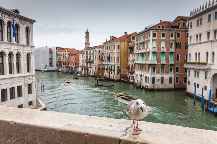 Young seagull on the bank of the canal Grande, venice, Italy Veneto Animal Architecture Bird Boat Bridge Building Canal City Cityscape Colorful Flood Gondola Gondolas Gondolier Gull Historic Holiday Island Italian Italy Lagoon Landmark Look Nature Old Palace People Romantic Sea Seabird Seagull Sky Statue Symbol Tourism Transport Travel Trees Vacation Venezia Venice View Water Waves Wildlife
