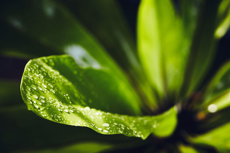 Aspleninum nidus : Bird's-nest fern water droplets on Bird's-nest fern's leaf Aspleninum Nidus Bird's-nest Fern EyeEmNewHere Water Droplets Close-up Day Droplets Fern Focus On Foreground Freshness Green Color Leaf Nature No People Outdoors Plant Selective Focus