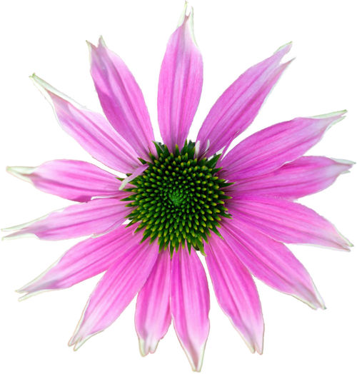 Pink coneflower - The flower of summer on white background Beauty In Nature Blooming Close-up Day Eastern Purple Coneflower Flower Flower Head Fragility Freshness Growth Isolated White Background Macro Macro Photography Macro_collection Nature No People Osteospermum Outdoors Petal Pink Color Plant Pollen Purple Studio Shot White Background