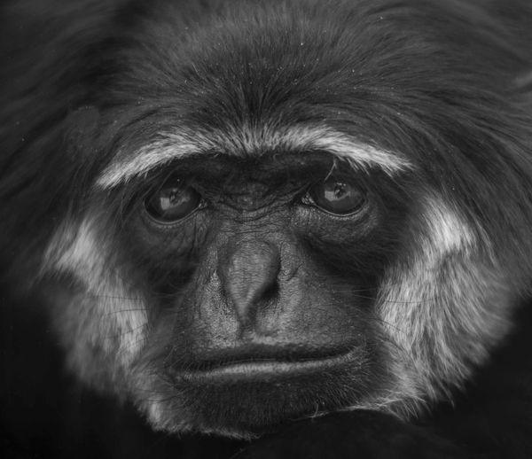 Close-up portrait of gibbon