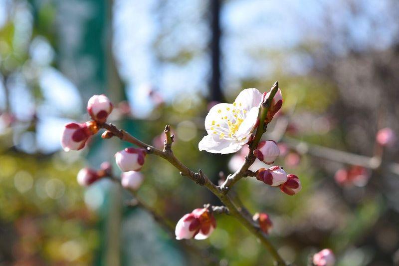 都会に咲いている梅の花 Taking Photos Ume Blossom Nature Flower Spring 梅 Photography Shrine
