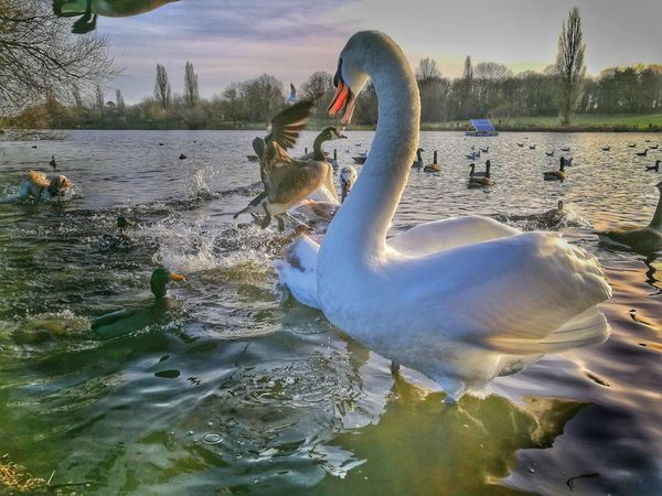 Dog and Swan chase ducks Swans Swans ❤ Swan Lake Ducks Dog Chasing Dog Chase Birds Swans On The Lake Nature Wildlife Action Flying Ducks Flying Swan Splashing Wildlife Photography Wildlife & Nature