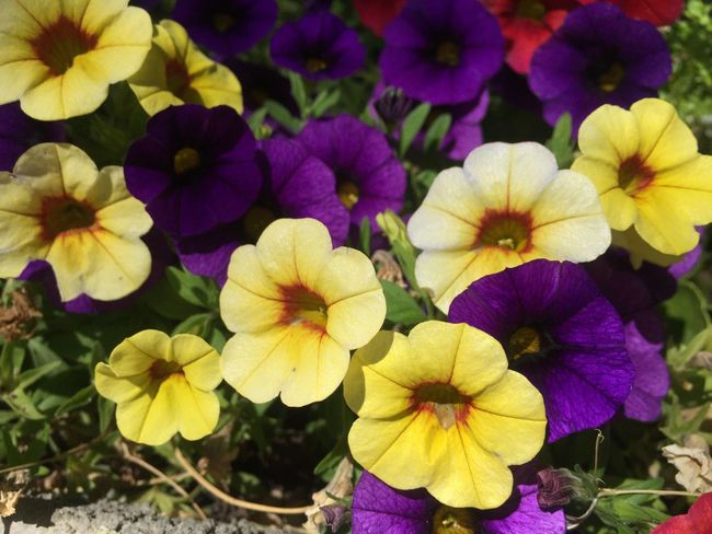 Fragility Vulnerability  Freshness Flowering Plant Flower Plant Beauty In Nature Growth Petal Flower Head Inflorescence Close-up Purple Nature No People Yellow Day Outdoors Focus On Foreground