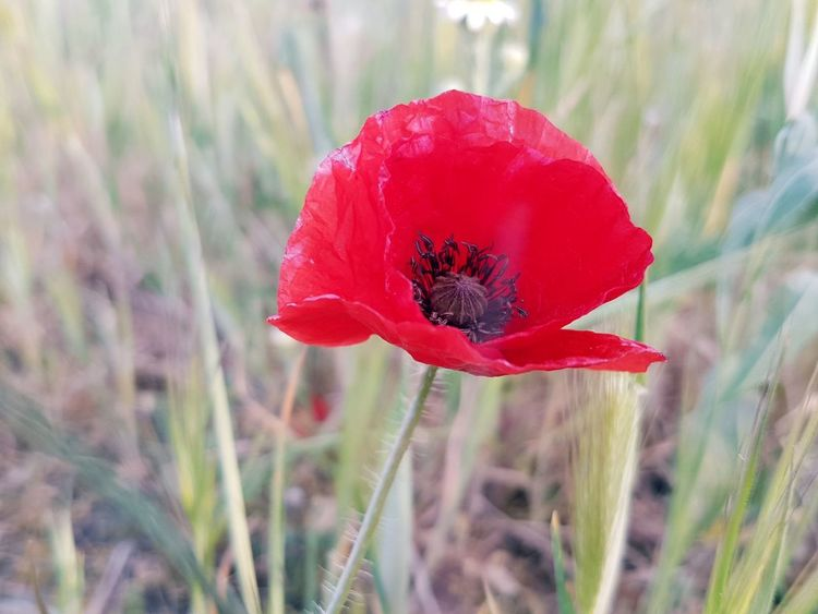Amapola Naturaleza🌾🌿 Rojo Red Poppy Flower Nature Plant Uncultivated Close-up No People Day Fragility Beauty In Nature