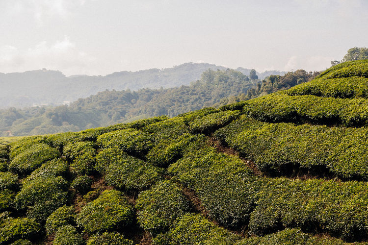Sunlight Tea Agriculture Beauty In Nature Blue Sky Day Environment Green Color Growth Hills And Valleys Land Landscape Landscapes Nature No People Outdoors Plant Plantation Rural Scene Scenics - Nature Sky Tea Crop Tea Plant Tea Plantation  Tranquility