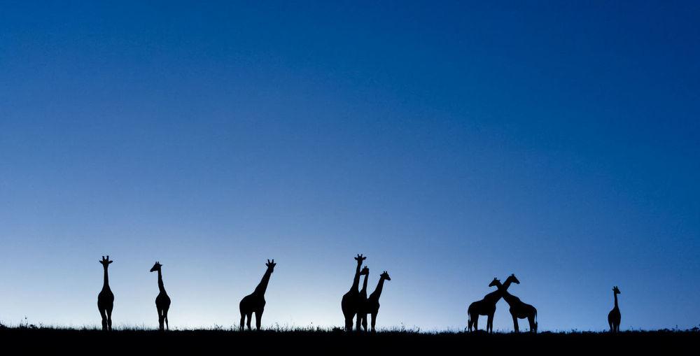 Giraffe Wildlife Wildlife & Nature Wild Wildlifephotography Kenya Kenyanphotographer Horizon Savannah Landscape Landscape_photography Landscape_Collection EyeEm Best Shots EyeEm Selects Nature Men Horse Working Group Of Animals Herbivorous