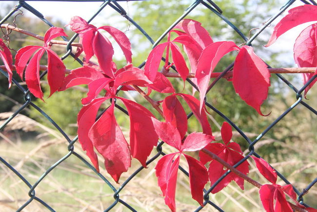 Beauty In Nature Chainlink Fence Close-up Day Flower Head Focus On Foreground Growth Leaf Metal Nature No People Outdoors Plant Protection Red Safety Tree