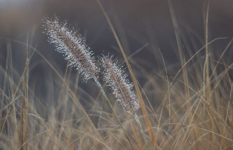 Close-up of reed grass growing in field