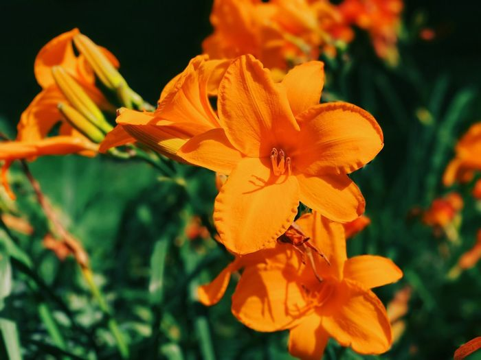 Close-up of orange day lily blooming outdoors