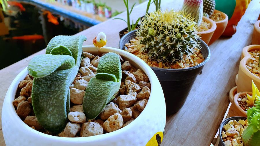 cactus High Angle View Close-up Cactus Saguaro Cactus Sharp Needle - Plant Part Barrel Cactus