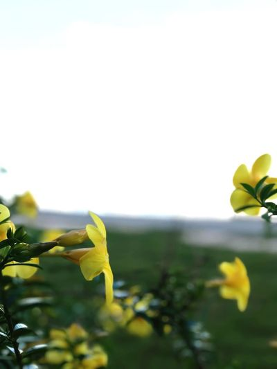 Plant Growth Yellow Leaf Plant Part Beauty In Nature Nature Flower Close-up No People Flowering Plant Vulnerability  Freshness Fragility Day Sky Copy Space Focus On Foreground Outdoors Green Color