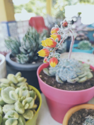 Close-up of cactus flower pot on table
