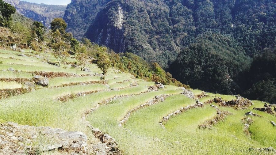 Terraced what fields in the hills of Nepal. Terraced Fields Nepal #travel Mountains Of Nepal Wheat Field Nepal Mountains In Background