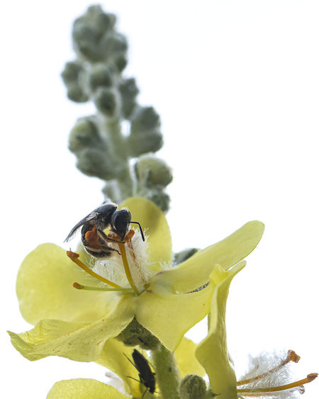 Close-up of insect on flower against white background