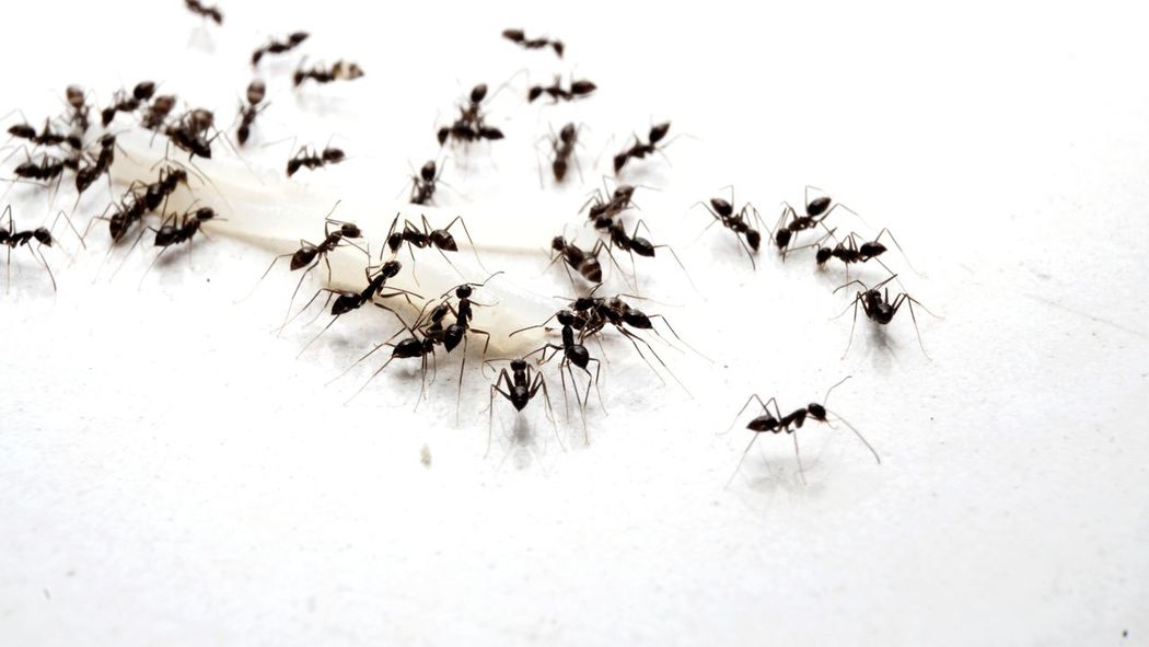 Ants world. No People Insert Pest Togetherness Small Animals Looking For Food Crawling House Pest Black Ants Group Of Animals Animal_collection EyeEm Selects Insect Ant Close-up Animal Themes Colony Prey APIculture Animal Leg