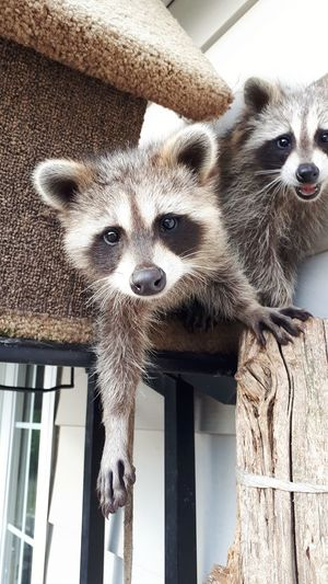 Such a ham❤ Baby Outdoors Raccoon Babyraccoon Rescue Close-up Pets