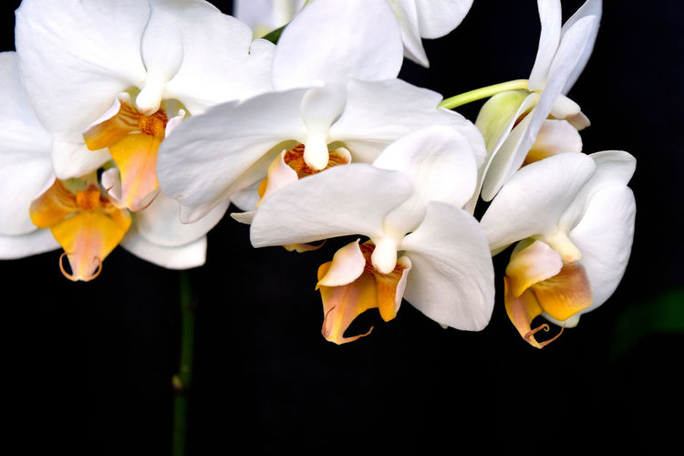 close-up of white flowers Beauty In Nature Close-up Day Flower Flower Head Fragility Freshness Growth Nature No People Petal Phalenopsis Plant Spray Of White Flowers White Color