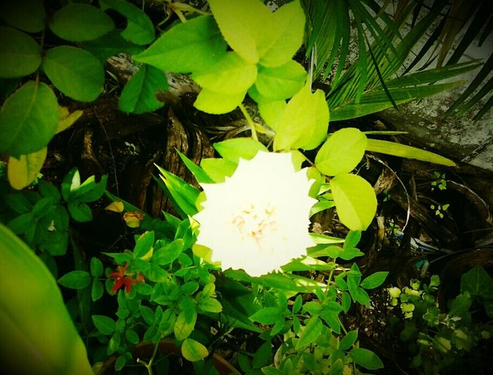 Beautiful as a white rose