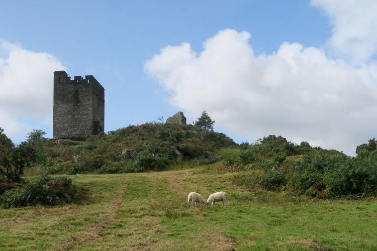 Sheep in field near castle