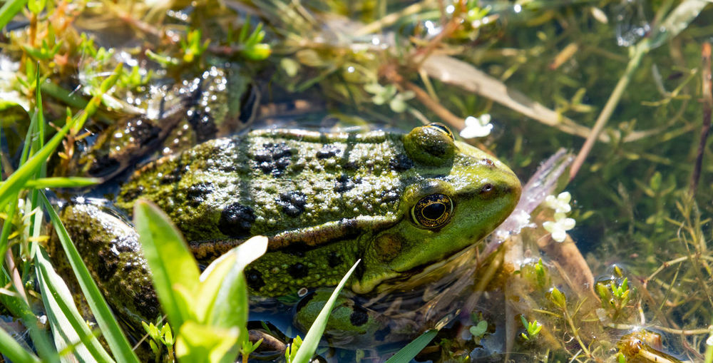 Close-up of frog in grass