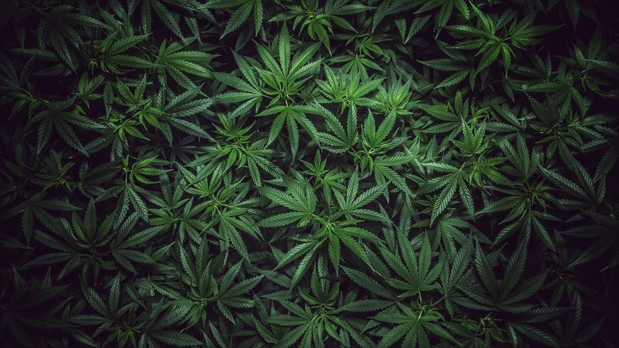 Green color Plant Nature Growth backgrounds Christmas leaf christmas tree Medical Marijuana Leaf Bud Growth Grow Plant Top View Vegetation Green Color Plant Nature Growth Backgrounds Christmas Leaf High Angle View Tree Full Frame Winter Close-up Pine Tree Night Marijuana - Herbal Cannabis Outdoors WeedPorn Medical Cannabis Greenery Lush Botanical Blossoming
