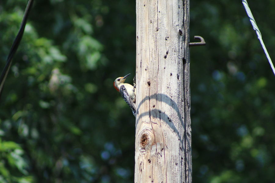 Animal Themes Beauty In Nature Close-up Day Focus On Foreground Green Color Growth Juvenile Red-bellied Woodpecker Nature No People Outdoors Perching Pole Selective Focus Tranquility Tree Tree Trunk Wildlife Wood - Material Wooden Post