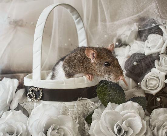 Wedding rat Basket Black And White Domestic Animals Pet Rat Rodent Romantic Wedding