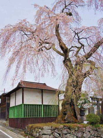 Tree Branch Architecture Built Structure No People Tree Trunk Building Exterior Nature Growth Outdoors Beauty In Nature Day Sky Blooms Blossom Springtime New Life