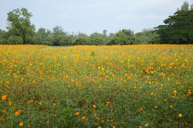 Cosmos Flower Cosmos Sulphureus Agriculture Beauty In Nature Blooming Day Field Flower Fragility Freshness Growth Landscape Nature No People Outdoors Plant Rural Scene Scenics Sky Tranquility Tree Yellow
