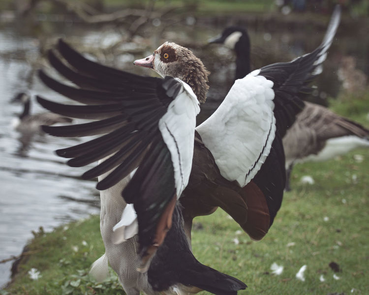 Nature Nature Photography Duck Egyptian Goose Nature_collection Wildlife Wings