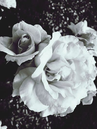 Flower Petal Nature Beauty In Nature Fragility Growth Rose - Flower Flower Head Plant Close-up Freshness Peony  Blooming No People Rose Petals Outdoors Pedal Day