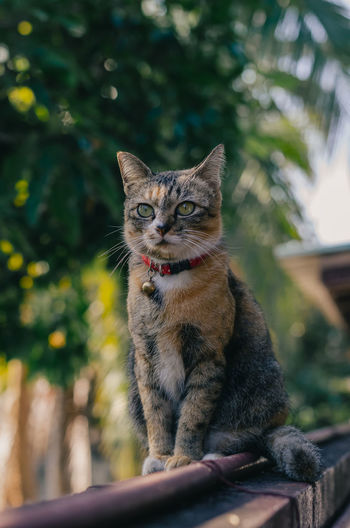 Adorable brown color domestic cat sitting and enjoy herself on fence of the house.