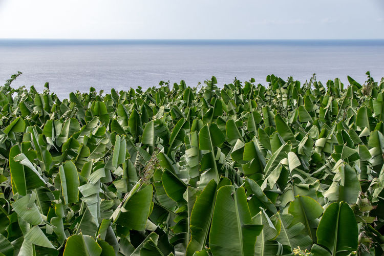 Banana tree plantation looking towards the Atlantic Ocean, La Palma, Canary Islands, Spain Sea Green Color Land Growth Nature Water Plant Plant Part Beauty In Nature Leaf Scenics - Nature Horizon Over Water Day No People Food Horizon Sky Field Food And Drink Outdoors Banana Tree La Palma, Canarias Canary Islands Banana Plantation Banana Grove