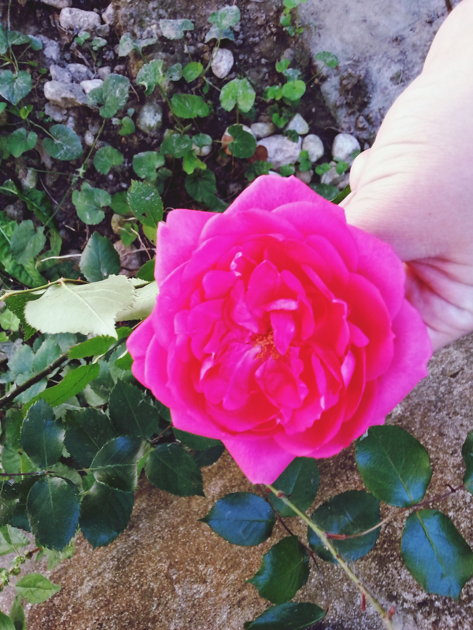 flower, petal, pink color, fragility, freshness, flower head, growth, beauty in nature, close-up, one person, plant, high angle view, leaf, nature, rose - flower, part of, single flower, pink, person, outdoors